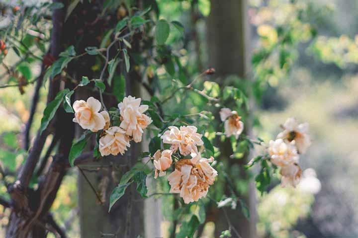 Gardeners in Devon. Roses growing in Garden